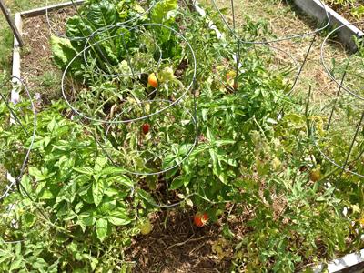Tomatoes at Fairmont Community Garden